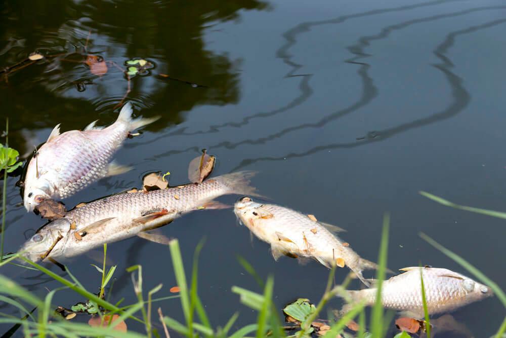 Peces muertos por aguas contaminadas